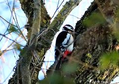Pic épeiche 01 (Jean-Daniel David) Tags: oiseau pic picépeiche nature animal faune réservenaturelle grandecariçaie arbre forêt bois bokeh branche noir rouge blanc yverdonlesbains suisse suisseromande vaud lac lacdeneuchâtel