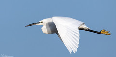 Little Egret on the wing off the Northumberland coast. (Steve (Hooky) Waddingham) Tags: stevenwaddinghamphotography animal amble planet countryside coast nature northumberland fishing flight wild wildlife