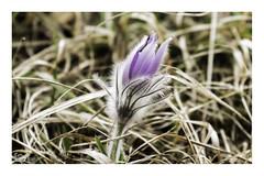 greater pasque flower (alamond) Tags: greaterpasqueflower pulsatillagrandis flower plant slovenia velikonočnica canon 7d markii mkii llens ef 70300 f456 l is usm alamond brane zalar