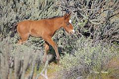 Born this morning! (littlebiddle) Tags: horse wildlife nature equine wildhorses arizona saltriver