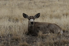 Mulle Deer Buck That Shed His Antlers (fethers1) Tags: rockymountainarsenalnwr rmanwr rmanwrwildlife coloradowildlife deer muledeer muledeerbuck