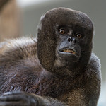 Portrait of a woolly monkey thumbnail