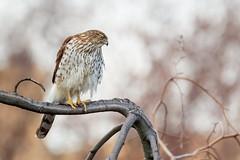 Cooper's Hawk (wn_j) Tags: birds birding birdsofprey nature naturephotography wildlife wildanimals wildlifephotography canon canon1dxii canon100400 coopershawk hawk urbanwildlife urban urbanhawks