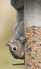 Grey Squirrel - Where there's a Will .. (Gilli8888) Tags: nikon p900 coolpix thornleywood thornleyhide tyneandwear nature greysquirrel squirrel mammal rodent seeds feeder