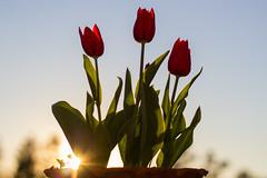 Happy Equinox! (DanielaC173) Tags: equinox spring flower tulip sunset sunlight sun backlit