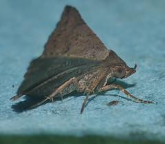 Spike Nose moth Rhesala sp ANIC 2 Catocalinae Erebidae Airlie Beach rainforest P1470161 (Steve & Alison1) Tags: spike nose moth sp erebidae airlie beach rainforest rhesala anic 2 catocalinae