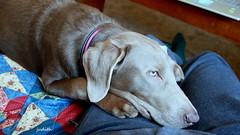 this feels like home (Judecat (ready for springtime)) Tags: dog puppy canine labradorretriever silverlabradorretriever pearl lap