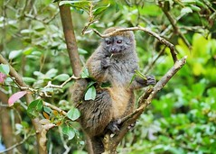 Bamboo Lemur Eating (Susan Roehl) Tags: madagascar2017 islandofmadagascar offtheeastcoastofafrica peyrierasmadagascarexoticreserve bamboolemurs gentlelemurs genushapelemur mediumsized animal mammal herbivore eatsbamboo endemic trees leaves preferdampforests activeduringday earlymorning arboreal groupsof3to5individuals makeavarietyofsounds oneortwoyoung lifeexpectancy12years sueroehl photographictours naturalexposures panasonic lumixdmcgh4 100400mmlens handheld cropped forest tree wood ngc coth5 npc