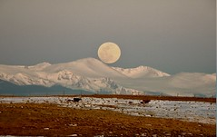 Super Worm Equinox Moon (Chamblin1) Tags: fullmoon supermoon equinox worm moon country colorado spring ranch rockies moonset cows calves landscape mountains pasture