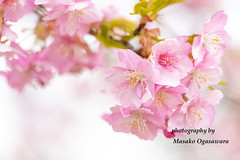 Cherry blossoms(Japanese name is kanzakura) (yumehana) Tags: asia beauty blossom branchplantpart bright capitalcities carefree cheerful cherryblossom cherrytree clean colors cozy elegance flower focusonforeground fourseasons greencolor horizontal ibarakijapan inbloom japan japaneseculture kanzakura lushfoliage marchmonth multicolored nature nopeople petal photography pinkcolor plant purity red relaxation season sky springtime sunny time tree vacations vibrantcolor winter