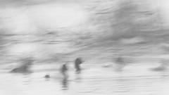 Tafelenten (IIIfbIII) Tags: bird blackandwhite birdphotography black fog fantasticnature fineart foggy nature naturephotography naturfotografie natur nebel duck ente gans goose art minimalism mecklenburg mecklenburgvorpommern monochrome