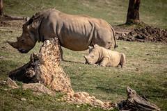 Little Rhino (Wade Brooks) Tags: 2019 artbywadebrooks polarbear zebra baby lion march nczoo rhino