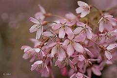 The joy of pink (Greet N.) Tags: tree flowering blossom pink springtime garden closeup