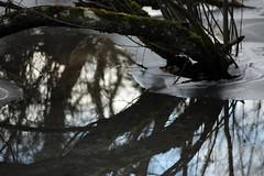 Mirror Mirror (gripspix (Easter Break 4 Family)) Tags: 20190216 schwenningermoos swamp sumpflandschaft moor tree baum water wasser reflections spiegelung ice eis