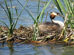 Great Crested Grebe (Podiceps cristatus) (Gerald (Wayne) Prout) Tags: greatcrestedgrebe podicepscristatus animalia chordata aves podicipediformes podicipedidae podiceps cristatus great crested grebe grebes divingbirds waterfowl waterbirds animal animals bird birds wildlife nature saolourencotrail quintadolago riaformosanaturereserve algarve faro portugal prout geraldwayneprout canon canonpowershotsx60hs powershot sx60 hs digital camera photographed photography saolourenco trail riaformosa reserve southern