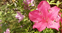 magenta azalea, ours, with lavender flowers in background (Martin LaBar) Tags: southcarolina pickenscounty azalea rhododendron flower spring frühling ericaceae