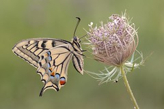 *Beauty of the flower meadow* (Albert Wirtz @ Landscape and Nature Photography) Tags: swallowtail butterfly meadow wiese wildemöhre wildcarrot summer sommer nature natura natur flower beauty schönheit makrofoto makro macro schwalbenschwanz papiliomachaon eifel südeifel moseleifel bergweiler wittlicherland wittlichland rheinlandpfalz rhinelandpalatinate deutschland germany allemagne bokeh papilionidae albertwirtzphotography albertwirtznaturephotography amazing