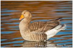 Sitting Pretty (www.andystuthridgenatureimages.co.uk) Tags: goose greylag geese waterfowl lake water river pool slim bridge www uk bird animal wildlife canon