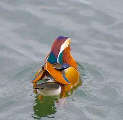 Exstream. (Omygodtom) Tags: rare bird wildlife duck portland oregon nikon70300mmvrlens d7100 usgs