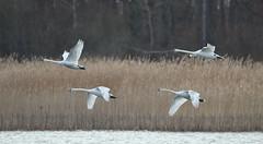 mach 4 (guiguid45) Tags: nature sauvage oiseaux bird étang loiret d810 nikon 500mmf4 cygne