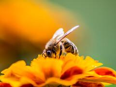 Honey bee on a flower (Ivan Radic) Tags: blume closeupshot honeybee honigbiene makro nahaufnahme nektar collecting flower macro nectar sammeln olympusomdem10 olympus microfourthirds mft m43