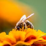 Honey bee on a flower thumbnail