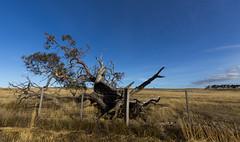 We've had so long to fall apart (Keith Midson) Tags: tree midlandhighway midlands tasmania rural australia farm fence fallen grass sky