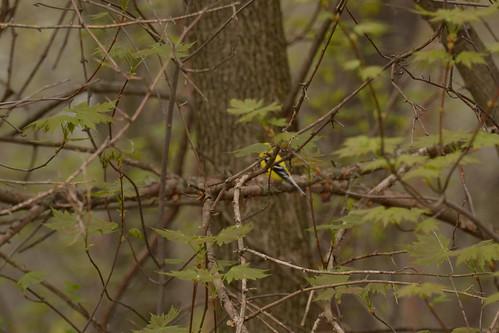 American Goldfinch - Life Bird