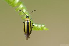 Just Arrived (Vie Lipowski) Tags: stripedcucumberbeetle acalymmavittatum tendril insect bug beetle backyard wildlife nature macro