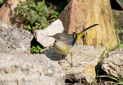 Grey Wagtail (Lynyrd J Smith) Tags: grey wagtail eastbourne tamron d3300 150600mm nature birds wildlife