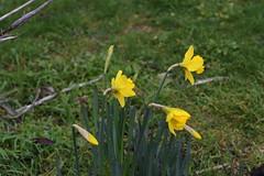 DSC_2519 Daffodils (PeaTJay) Tags: nikond750 sigma reading lowerearley berkshire macro micro closeups gardens outdoors nature flora fauna plants flowers daffodils