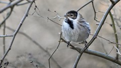 Reed Bunting (LouisaHocking) Tags: british bird forestfarm wales wild wildlife nature southwales reedbunting bunting