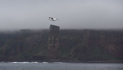 Gannet flying past the Old Man (BoblyP) Tags: boblyp oldmanofhoy orkney scotland uk seastack cliffs hoy gannet