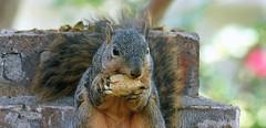 4 Every Little Bit Must Go (Kaptured by Kala) Tags: sciurusniger foxsquirrel squirrel garlandtexas pecan closeup outsidemywindow brickwall eating feeding greenpecan unripepecan