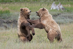 _2CD2993 (Hilary Bralove) Tags: lakeclarknationalparkbrownbearsbearsalaskanikonwildlifegrizzlygrizzlybearbrownbearanimalswildlifephotographer alaksa brownbears grizzlybears bear bears grizzly brownbeargrizzly bearlake clarkwildlifealaska wildlifenikonlake clark national park