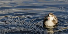 Egyption Gosling (Shannon Wilde 9322) Tags: egyptiongoslings goslings animalphotography animal wildlife wildlifephotography waterfowl nature naturephotography canon sigma birdlife birdphotography birdwatch