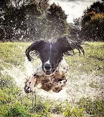 Having  a Splashing  Time . (Fergus the Springer) Tags: englishspringerspaniel springerspaniel spaniel springer dog splash gundog workingspringer