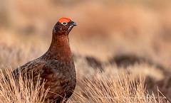 Red Grouse (www.facebook.com/PaulSmithWildlife) Tags: wildlife nature scotland highlands cairngorms springwatch