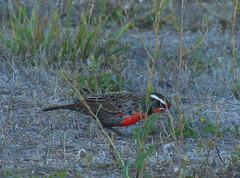Loica en atardecer (patriciamura) Tags: aves loica chilenas pajaros fauna silvestre