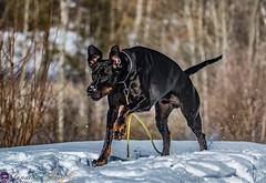 Dobermann (real.jtj) Tags: dobermann dog
