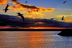 É bom viver no Algarve! (Zéza Lemos) Tags: algarve água areia aves asas ave gaivotas reflexos reflections sunset sol sunny surf natureza natur nuvens núvens mar quarteira portugal praia pordesol puestadelsol selvagem oceano céu capture contraluz entardecer anoitecer vôo