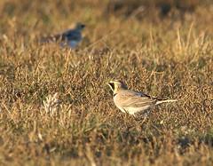 Shorelark (Lutra77) Tags: shorelark eremophilaalpestris britishbirds wintervisitors migrants naturephotography nature wildlife birds holkham norfolk