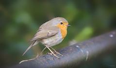 Robin (Paula Darwinkel) Tags: robin redbreast bird animal wildlife nature birdphotography birds