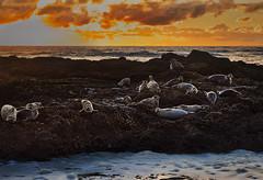 Sunset at Seal Island (Ray Mines Photography) Tags: ngc seals sealion mammals ocean sea water wildlife nature landscape seascape evening twilight sunset coast coastal oregon pacific northwest