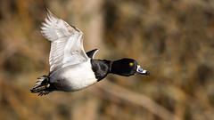 Ring-neck Duck (Gary R Rogers) Tags: bird duck ringbillduck ringneckduck yelloweye flight