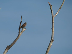 Apaj (Hungary) (szabolcs.mosonyi) Tags: europe hungary eu bird birdwatching