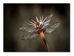 Lib M6 Def Rt Bd Rd1 IMG_3836 (thierrybarre) Tags: libellule insecte faune nature graphisme bokeh macrophoto