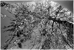 Birch time (batuda) Tags: 35mm film bw om2n om 2835 red filter d76 stock tree branches foliage birch sky šančiai kaunas spring april 2016
