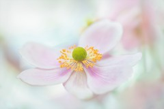 With A Heart Wide Open (Anna Kwa) Tags: japaneseanemone anemonepinksaucer flower bokeh macro dof nature annakwa nikon d750 1050mmf28 my heart open whatmatters always seeing soul throughmylens life journey say fate destiny