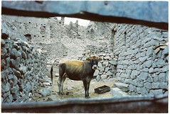 (grousespouse) Tags: ladakh 35mm analog film nikonf3 nikonseriese28mmf28 vision3 kodakvision200t analogue cinematic tungsten bokeh cow himalayas leh basgo gompa ruins abandoned creepy eerie spooky moody atmospheric dreamlike india argentique blue 80b scanned croplab grousespouse 2018